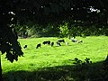 Cows at Johnstown, Co. Meath - geograph.org.uk - 2013897.jpg