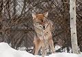 Coyote (5566221850).jpg