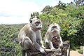 Crab-eating macaques in Mauritius.jpg