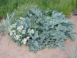 definition of crambe