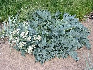 Crambe maritima - Sea kale growing in Estonia