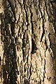 Crataegus-laevigata-bark.jpg