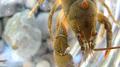 Crayfish portrait 2 (5987991554).png