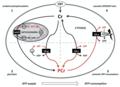 Creatine kinase and phosphocreatine energy shuttle.png