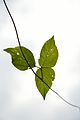 Creeper Leaves - Howrah 2013-10-27 3960.JPG