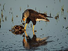 Photo of a large bird eating a turtle