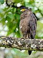 Crested serpent eagle @ bandhipura.jpg