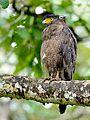 Crested serpent eagle @ bandhipura.jpg