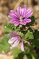 Croatia-01480 - Coastline Flower (9657456954).jpg