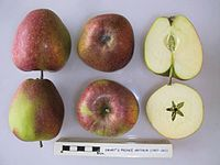 Cross section of Smart's Prince Arthur, National Fruit Collection (acc. 1957-261).jpg
