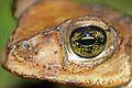Cuban Spotted Toad (Peltophryne taladai) (8575064858).jpg