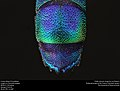 Cuckoo Wasp from Mexico (Chrysididae) (37538259651).jpg