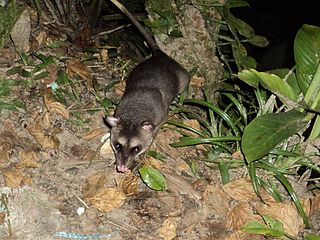 Gray four-eyed opossum species of mammal