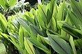 Curcuma zedoaria 15zz.jpg