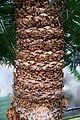 Cycas circinalis in Tropengewächshäuser des Botanischen Gartens.jpg
