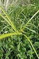 Cyperus eragrostis kz03.jpg