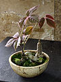 Cyphostemma adenopodum bonsai.jpg