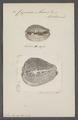 Cypraea mus - - Print - Iconographia Zoologica - Special Collections University of Amsterdam - UBAINV0274 088 02 0033.tif