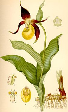Cypripedium calceolus guckusko.jpg