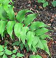 Cyrtomium falcatum 4.jpg
