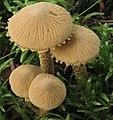 Cystoderma amianthinum (Scop.) Fayod 374647.jpg