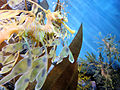 DSC28199, Leafy Sea Dragon, Monterey Bay Aquarium, Monterey, California, USA (8316405860).jpg