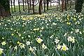 Daffodil Wood, Mount Edgcumbe Park - geograph.org.uk - 347612.jpg