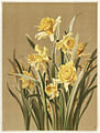 Daffodils (Boston Public Library).jpg