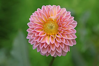 <i>Dahlia</i> Genus of flowering plants in the daisy family Asteraceae