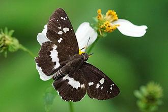 Daimio (butterfly) - Daimio tethys niitakana