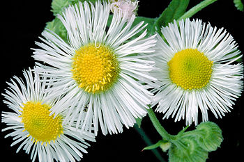 Wikijunior Summer Flowers Of Northern New England Erigeron
