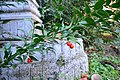 Danae racemosa, fruits.jpg