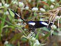 Danaid Eggfly. Hypolimnas misippus. Male. - Flickr - gailhampshire.jpg