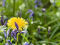 Dandelion amid bluebells (14017250361).jpg