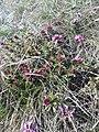 Daphne cneorum (Thymelaeaceae) 06.jpg
