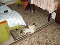 Darias cat (182379145).jpg