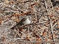 Dark-throated Thrush (Turdus ruficollis) (33161780674).jpg
