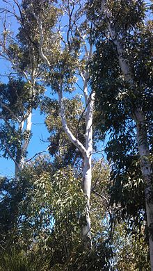 Darling Range Ghost Gums.jpg