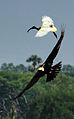 Darter and Ibis on a race 1.jpg