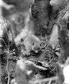 Den mindre arten av Celebes båda pungdjur, något större än en ekorre (Phalanger celebensis) - SMVK - 1978D.tif