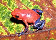 Dendrobates pumilio, kodok berukuran 18–22 mm dengan kulit beracun dari Amerika Tengah.