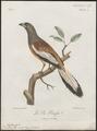 Dendrocitta rufa - 1796-1808 - Print - Iconographia Zoologica - Special Collections University of Amsterdam - UBA01 IZ15700073.tif