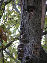 Dendrocopos minor mushrooms tree brok 1 beentree.jpg