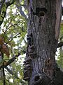 Dendrocopos minor mushrooms tree brok 1 beentree.jpg