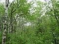 Dense forest in Birds Hill Provincial Park.jpg