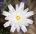 Desert Chicory in Anza Borrego Desert.jpg