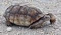 Desert Tortoise (6215569730).jpg