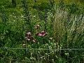 Dianthus-carthusianorum.JPG