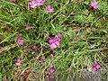 Dianthus deltoides Orikrin 001.jpg