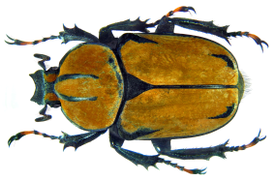 Dicronocephalus wallichii female.png